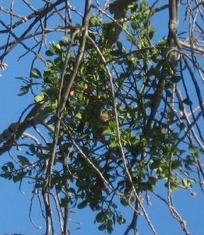 Austin Mistletoe Removal