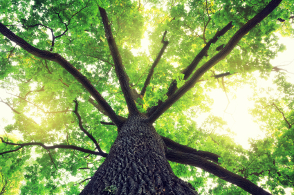 Oak Tree Pollen Allergy Symptoms